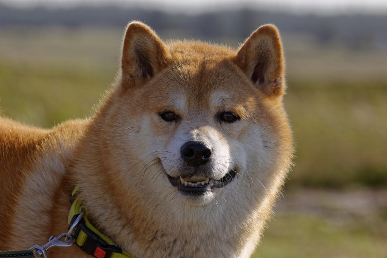 Elon Musk Declares he is Getting A Shiba Inu DOGE 13
